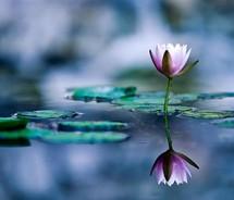 serenityflower